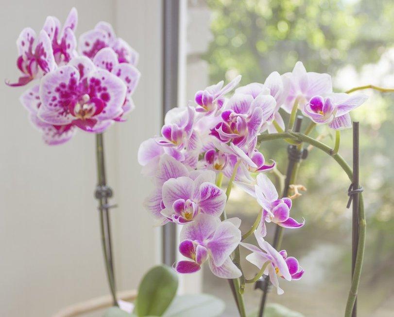 Orchidėjų žydėjimas