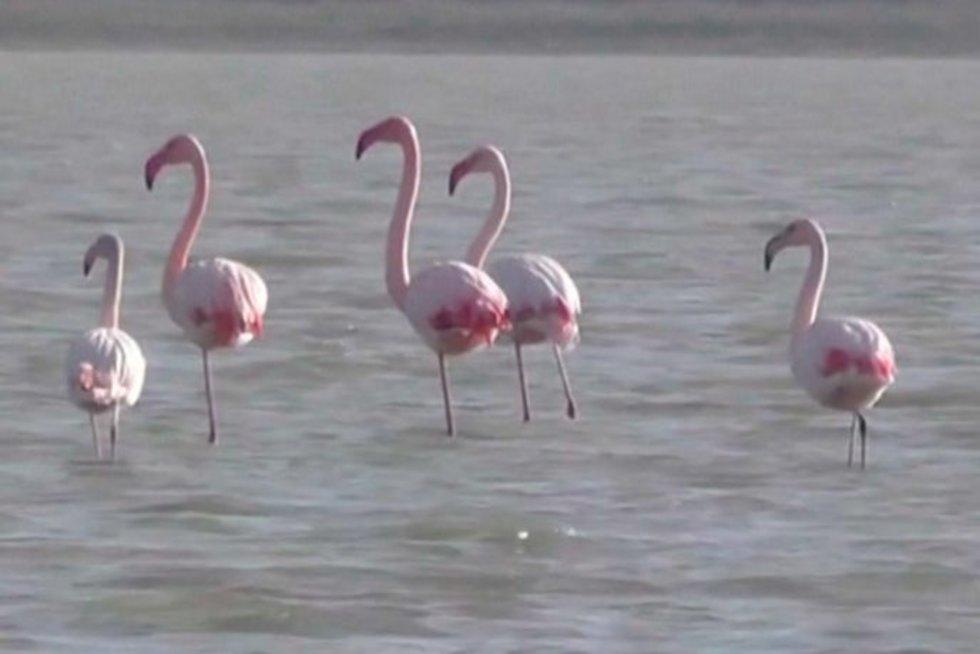 Neregėtas vaizdas Kryme – žiemoti atskrido rožinių flamingų būrys (nuotr. stop kadras)