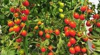 Pomidorai  (nuotr. 123rf.com)