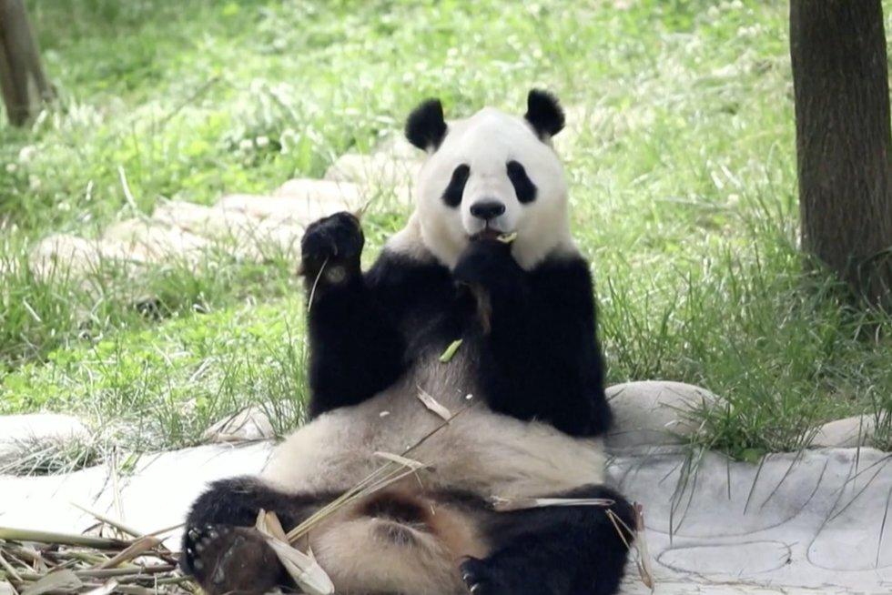 Kinijoje atsidarė pandų centras: sieks auginti populiaciją (nuotr. stop kadras)