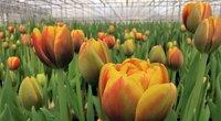 Tulpės (bendrovės nuotr.)