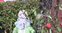 Žagarėje – šventė, bet vyšnių derlius nedžiugina
