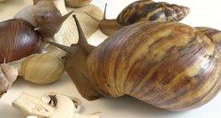 Lietuviai egzotines sraiges veisia namuose: didžiausia sveria beveik 0,5 kg