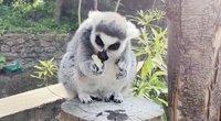 Atgaivos reikia visiems: Londono zoologijos sode lemūrai valgė ledus (nuotr. stop kadras)