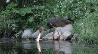 Juodasis gandras ieško draugų tarp baltųjų: ornitologai tokį elgesį vadina keistu (nuotr. stop kadras)
