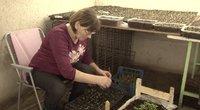 Žiema daržininkams nė motais: sėklas daigina ne tik ant palangių, bet ir rūsiuose (nuotr. stop kadras)
