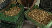 Dzūkijoje dygsta grybų supirktuvės: dviejų savaičių uždarbis – per 1000 eurų (nuotr. stop kadras)