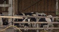 Karvės (nuotr. stop kadras)