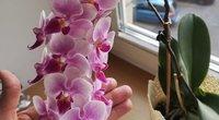 Kaunietės Rimos orchidėjos stebina svečius (tv3.lt fotomontažas)
