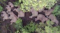 Galiūnai sugulė poilsiui: pamatykite, kaip per Kiniją žygiavę drambliai ilsisi (nuotr. stop kadras)
