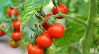 Pomidorai (nuotr. Shutterstock.com)
