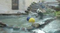 Maskvos karščio išvarginta panda gaivinosi zoologijos sodo baseine (nuotr. stop kadras)