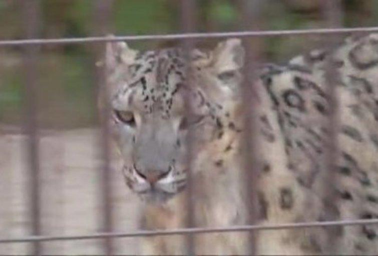 Po kelių dešimtmečių pertraukos laukiama tigrų ir snieginių leopardų jauniklių (nuotr. TV3)