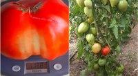 Linos šiltnamyje – įspūdingas pomidoras (nuotr. asm. archyvo)