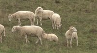 Vilkai ir toliau siautėja nevaldomi: Suvalkijoje papjovė 13 avių (nuotr. stop kadras)