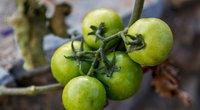 Žali pomidorai (nuotr. 123rf.com)