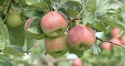 Obuolių kainas diktuos Lenkija: Lietuvoje auksinio derliaus nebus