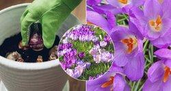 Specialistė įvardijo dažniausią krokų sodinimo klaidą: šiukštu jos nekartokite