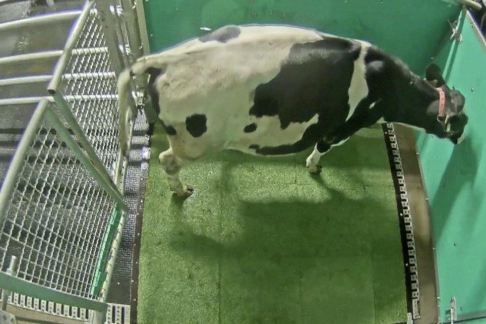 Neįtikėtina: vokiečių mokslininkai išmokė karves eiti į tualetą (nuotr. stop kadras)