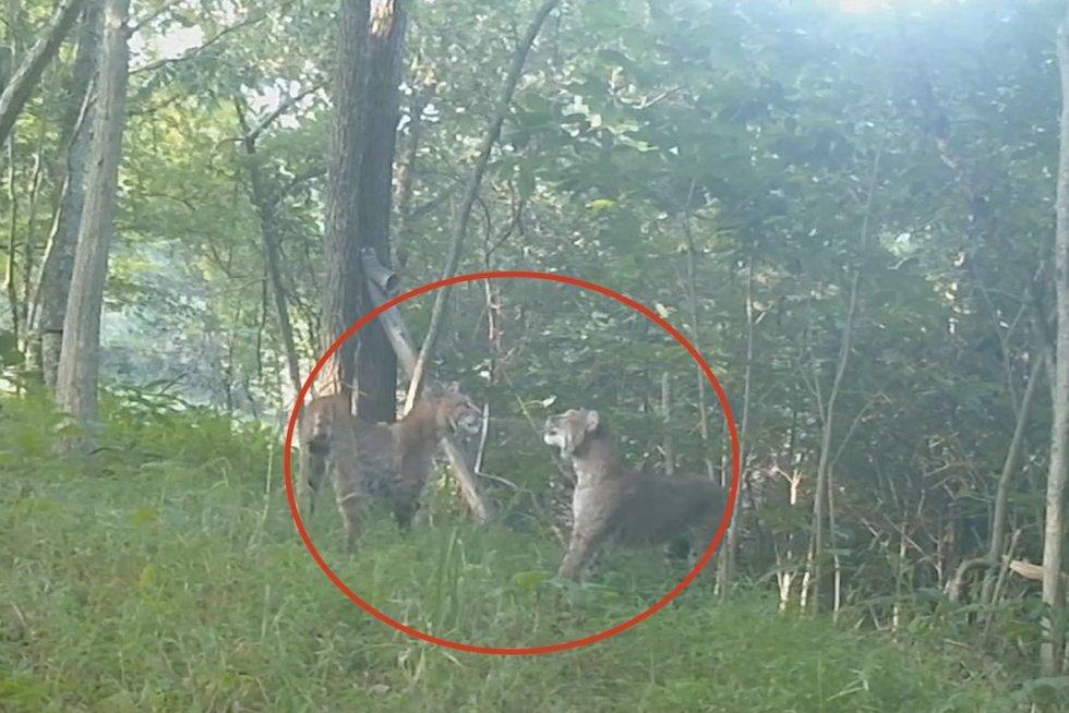 Miške nufilmavo dviejų lūšių akistatą (nuotr. stop kadras)