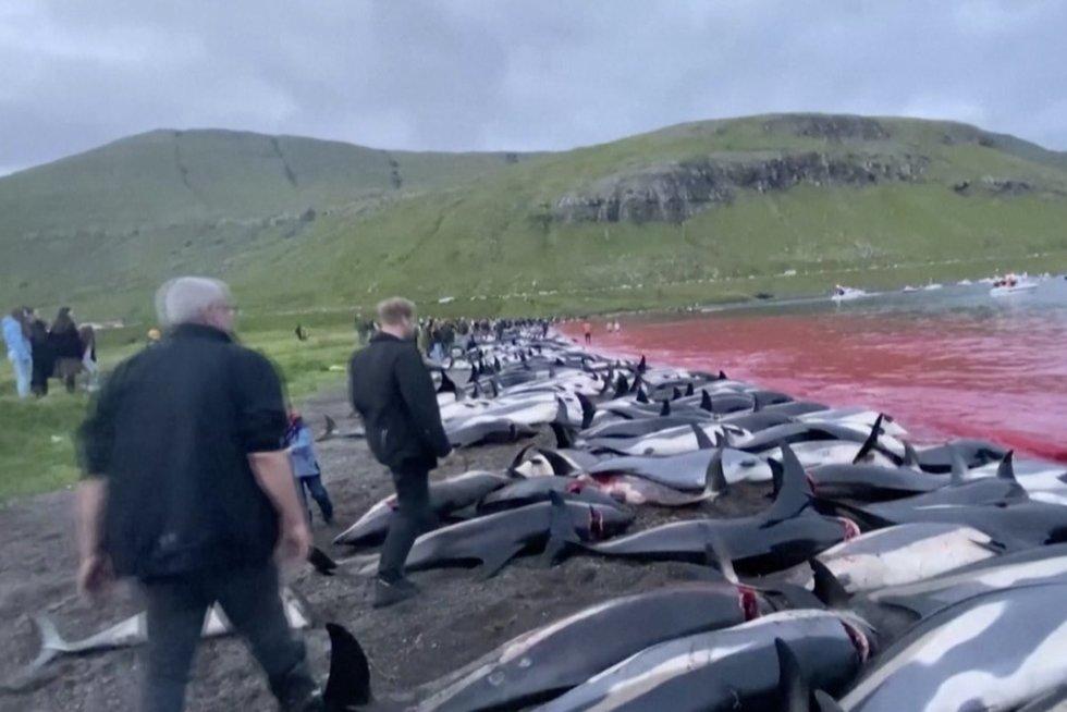 Farerų salose – tradicinė delfinų giminaičių medžioklė: išskerdė kone pusantro tūkstančio (nuotr. stop kadras)