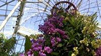 Pavasario pranašės: orchidėjų žydėjimas jau prasidėjo