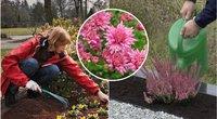 Kapuose sodinkite šias gėles: idealiai tiks rudenį (tv3.lt fotomontažas)