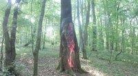 Degantis medis (nuotr. Kauno diena/skaitytojo)