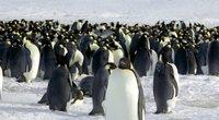 Imperatoriškieji pingvinai – ant išnykimo slenksčio: iki 2100-ųjų jų gali beveik nelikti (nuotr. stop kadras)