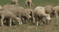 Vilkai surengė kruviną puotą: išpjovė ir suėdė daugiau nei 30 avių (nuotr. stop kadras)