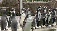 Rutinos paslaptys: pamatykite, kaip zoologijos sodo pingvinai karantino metu išlaiko formą (nuotr. stop kadras)