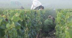 Burgundijos regione – tik trečdalis įprasto derliaus: gali lemti dramatišką kainų kilimą