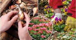 Dabar sodinkite šias gėles: pradžiugins ankstyvais žiedais ir papuoš kiemą