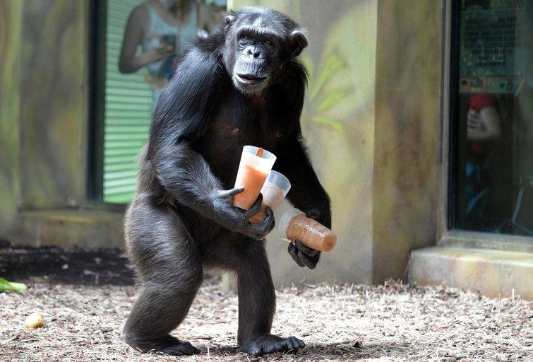 Šimpanzė (nuotr. SCANPIX)