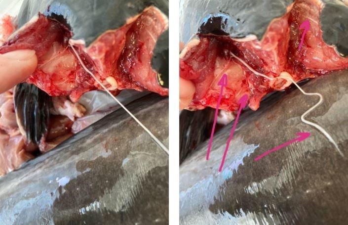 Žuvies nervas (nuotr. bendrovės)