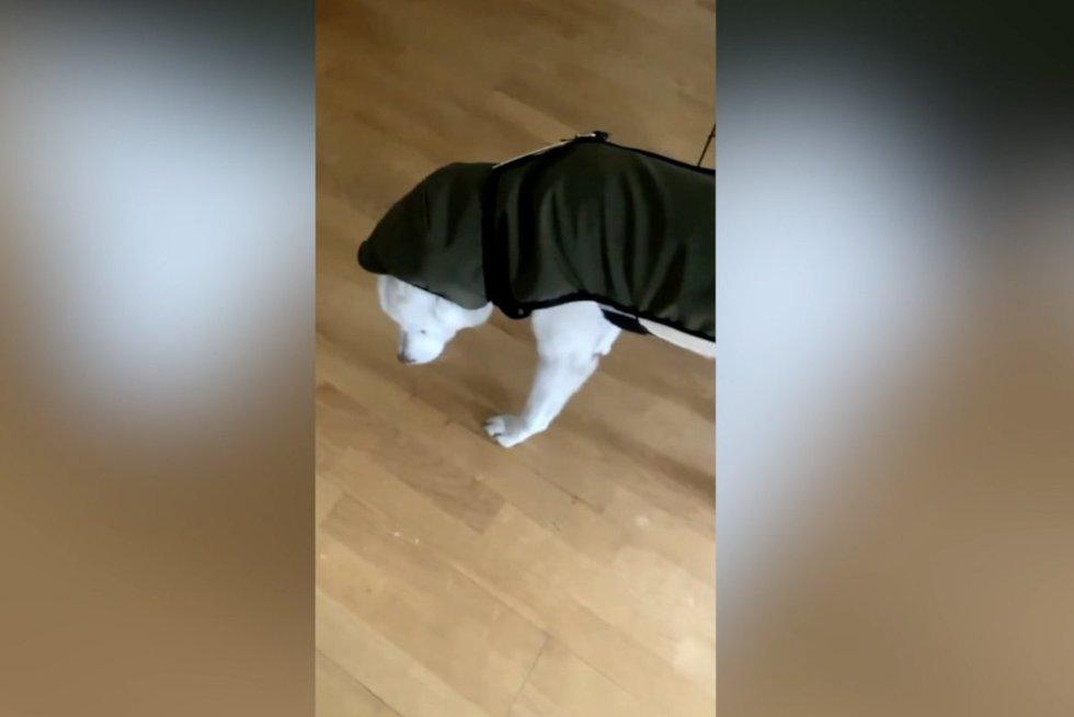 Nauju drabužiu šunį aprengęs šeimininkas ėmė leipti juokais: keturkojo reakcija neįkanojama (nuotr. stop kadras)