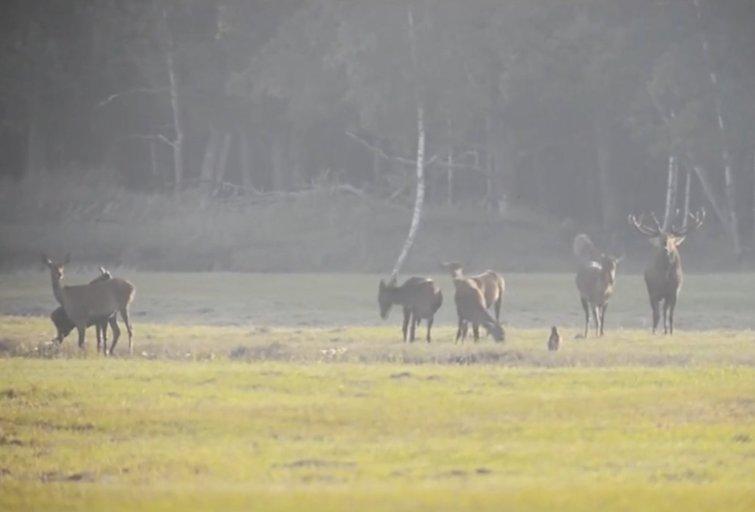 Medžiotojai vis daugiau išgelbėja į vielas ar tvoras įsipainiojusias stirnas (nuotr. stop kadras)