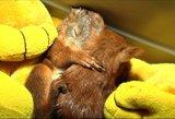 Laimės kūdikiai: varnų užpultus voveriukus išgelbėjo neabejingi žmonės