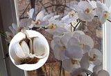 Orchidėją laistykite tik taip: nustebs net visko matę!