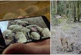 Žmones kausto baimė: Vilkaviškio r. vilkai puola be gailesčio