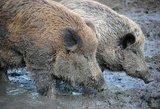 Lenkija informavo ir apie ketvirtą afrikinio kiaulių maro židinį