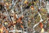 Randa tik vienetai: šioje nuotraukoje slepiasi pelėda