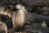 Vokietijoje į laisvę paspruko nuodinga kobra –dėl jos evakuoti keturi namai