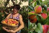 Astos kieme – persikų rojus: derliaus nespėja krauti į dėžes