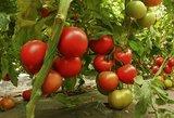 Pamirškite pomidorų ligas. Noks gražūs kaip niekada anksčiau