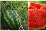 Arbūzai sode augs nesustabdomai: tereikia žinoti šias gudrybes