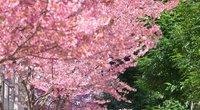 Japonijoje – pavasaris: pradėjo žydėti sakuros (nuotr. stop kadras)