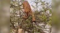 Nufilmavo nelygių varžovų dvikovą medyje: tigrui beždžionė nepaliko jokių šansų