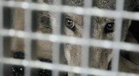 Vilko ir šuns hibridės Lunos istorija Lietuvoje baigta: panevėžietę liko šokiruota sprendimu (nuotr. stop kadras)