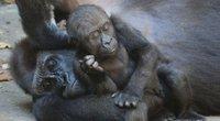 Gorila (nuotr. Vida Press)